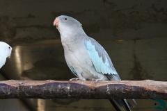 www.papousek.fun - papoušek_alexandřin_princka